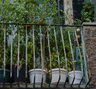 Tomater frodas på balkongen